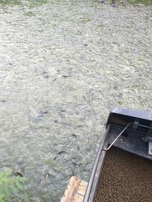 广西壮族自治区梧州市苍梧县埃及鲶鱼 人工养殖 1-1.5公斤