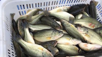 湖北省武汉市蔡甸区加州鲈鱼 人工养殖 1-1.5公斤