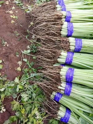 北京通州区香芹 55~60cm 大棚种植 0.5斤以下