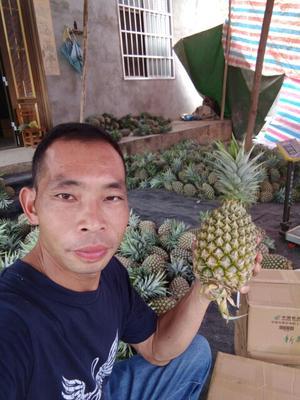 广西壮族自治区崇左市龙州县台湾凤梨 1.5 - 2斤