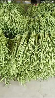 广西壮族自治区北海市合浦县绿翡翠长豆角 50cm以上 打冷