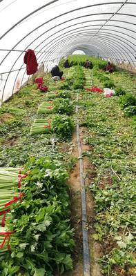 河南省周口市扶沟县皇妃芹菜 55~60cm 大棚种植 0.5~1.0斤
