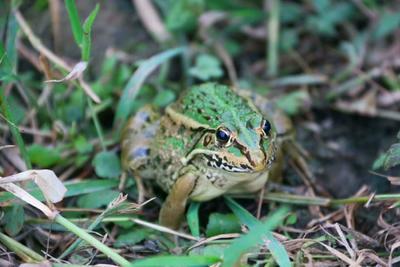 广西壮族自治区桂林市全州县黑斑蛙