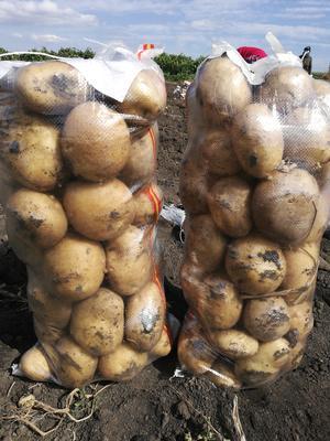黑龙江省牡丹江市宁安市尤金885土豆 3两以上