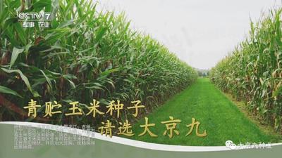这是一张关于玉米种子 双交种 ≥96% ≥99% ≥90% ≤13%的产品图片