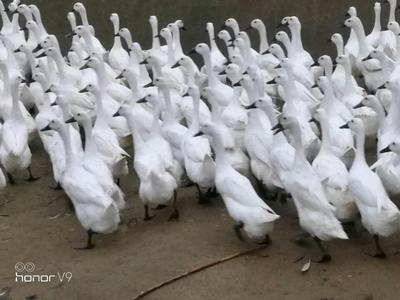 福建省龙岩市永定县白鹭鸭 母 全散养 2-3斤