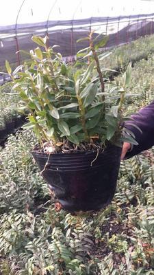这是一张关于铁皮石斛种苗的产品图片