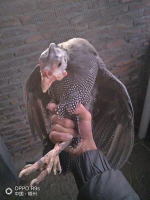 江西省赣州市安远县灰色珍珠鸡 2-4斤