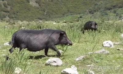 湖南省邵阳市隆回县特种野猪 20-30斤 统货