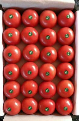 河南省安阳市滑县硬粉番茄 精品 弧二以上 硬粉