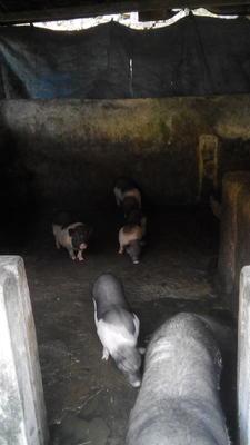 广东省肇庆市端州区陆川猪 60斤以上