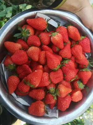 这是一张关于 圣诞红草莓苗 20~30公分 地栽苗 的产品图片
