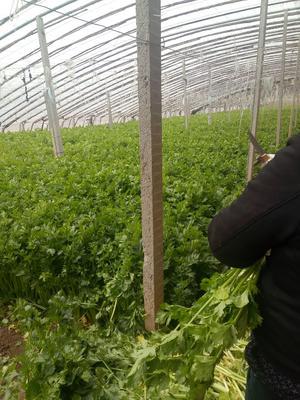 天津静海县西芹 55~60cm 1.0~1.5斤 大棚种植
