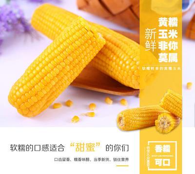 广东省潮州市湘桥区甜糯玉米 去壳 甜糯