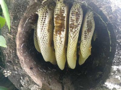 这是一张关于土蜂蜜 玻璃瓶装 98% 2年以上 的产品图片