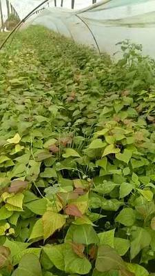 河南省商丘市夏邑县西瓜红红薯苗 15~25cm