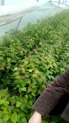 河南省商丘市夏邑县西瓜红红薯苗 25~35cm