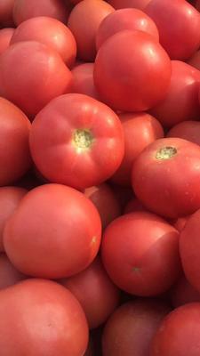 山东省菏泽市定陶县硬粉番茄 精品 硬粉 弧三以上
