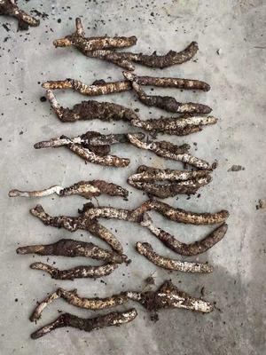 这是一张关于冬虫夏草 的产品图片