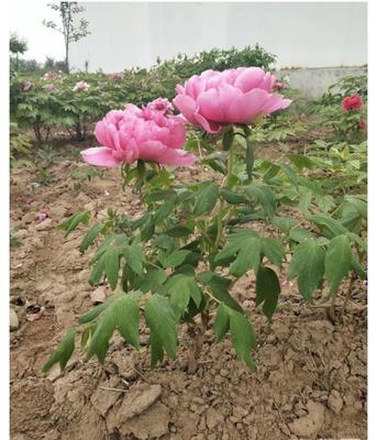 江苏省宿迁市沭阳县观赏牡丹 2cm以下 4cm以下 0.5米以下