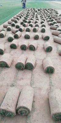 陕西省西安市灞桥区马尼拉草皮