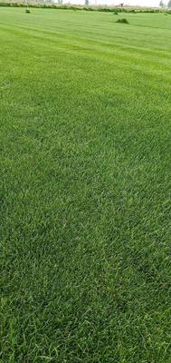 陕西省西安市灞桥区早熟禾草坪