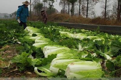 山东省临沂市沂水县黄心大白菜 通货 毛菜