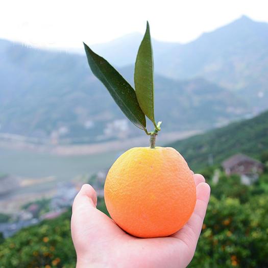 春橙伦晚 现摘秭归脐橙3-9斤装超甜橙子【爱心助农】