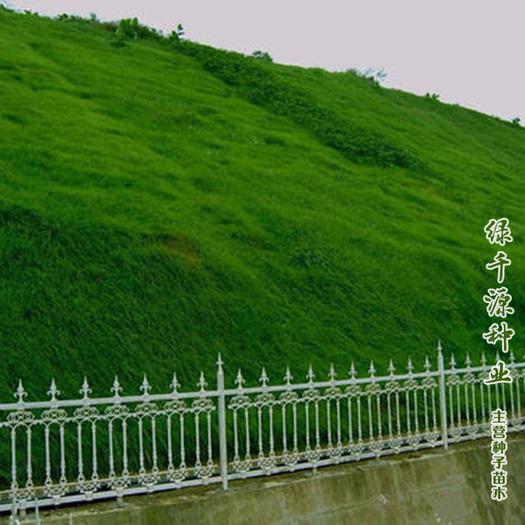 护坡草种子护坡草新种子进口护坡草种子包邮