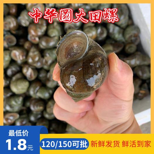 田螺淡水螺鲜*厚壳一手货源现捕现发人工捕捞