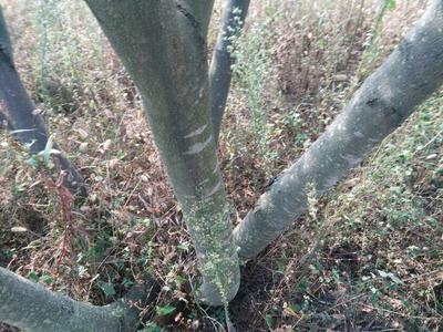 山东烟台芙蓉树