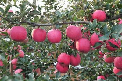 这是一张关于长富2号苹果 纸袋 条红 75mm以上的产品图片