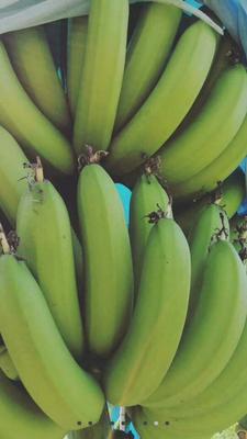 广西玉林广西蕉 八成熟 40 - 50斤