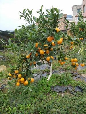 金桔种子 脆蜜金柑(无籽金桔)小苗