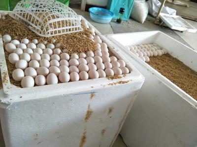 山东济宁白鸽蛋 食用 散装