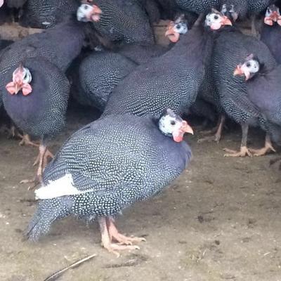 山东济宁灰色珍珠鸡 2-4斤