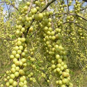 云南曲靖橄榄粉 14g以上 200g