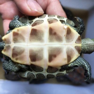 江苏无锡中华草龟苗 草龟珍珠龟