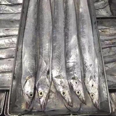 山东潍坊胶东带鱼 野生 0.5龙8国际官网官方网站以下