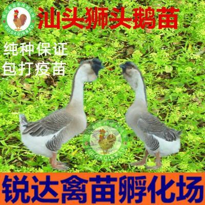 广西南宁狮头鹅苗 广东汕头