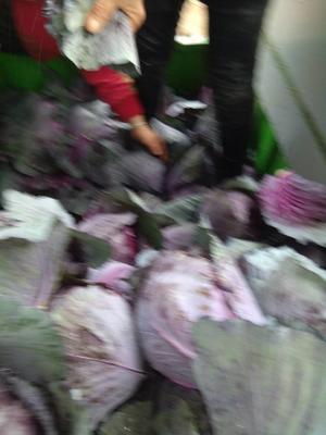 陕西省咸阳市三原县紫甘蓝 1.0~1.5斤