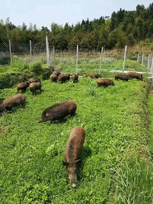 安徽安庆黑土猪 200-300斤