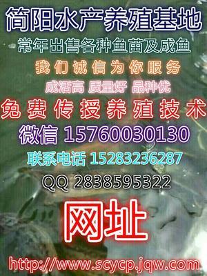 四川资阳简阳市台湾泥鳅苗