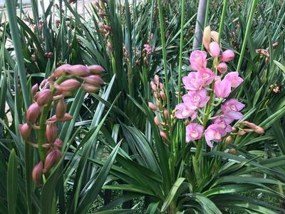 这是一张关于惠兰 带盆栽好的产品图片