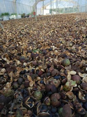 贵州黔东油茶籽