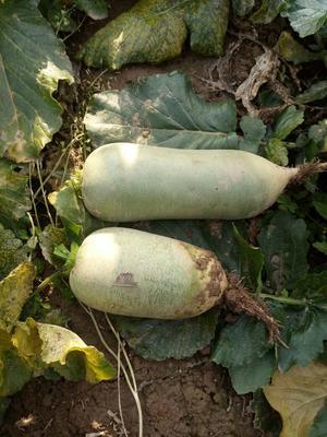甘肃白银水果萝卜 1.5~2斤