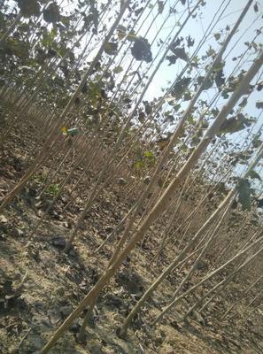 河南驻马店平舆县2025杨 速生杨树苗,国内最新速生杨品种。