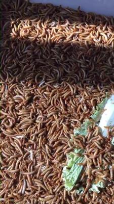 辽宁营口鲅鱼圈区黄粉虫