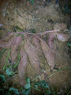 广东韶关南雄市紫板薯 2-5两