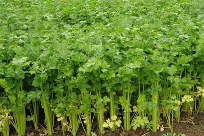 山东省临沂市沂南县玻璃脆芹菜 45~50cm 0.5斤以下